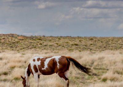 Wild horse feeding on grassy plain